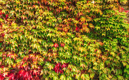 Autumn background wall of ivy leaves Stock Photography