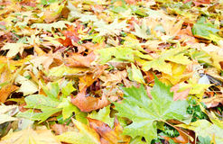 Autumn background (yellow abscissed leafs) Stock Photos