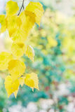Autumn background with yellow  birch leaves Royalty Free Stock Photo