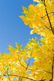 Autumn background with yellow foliage over blue sky Royalty Free Stock Photography