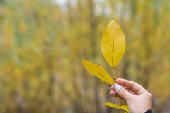 Yellow leaf in woman hand stock photo
