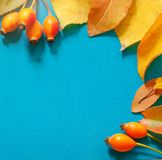 Autumn background. yellow leaves and orange berries. square. Autumn leaf on wood blue background top view orange leaf on old grunge wood deck, copy place for Royalty Free Stock Photography