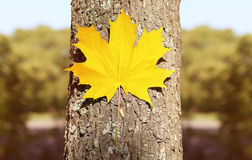 Autumn background, yellow maple leaf on the tree, nature Stock Photos