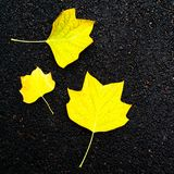Autumn background - yellow marple leaves laying on black asphalt. Autumn background - yellow marple leaves on black asphalt road with copy space for text.  Fall Stock Photography