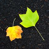 Autumn background - yellow marple leaves laying on black asphalt. Road with copy space for text.  Fall  background Royalty Free Stock Image