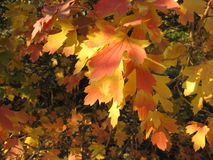 Autumn background - yellow and red leaves Royalty Free Stock Images