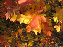 Autumn background - yellow and red leaves Stock Image
