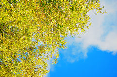Autumn background - yellowed birch autumn leaves against blue sky. Autumn nature with free space for text. Stock Photography