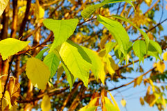 Autumn background -  yellowed leaves of  bird cherry tree in sunny day Stock Photography