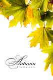 Autumn backgroundl maple leaves Stock Image
