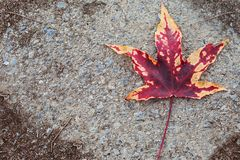 AUTUMN BACKGROUNDS. RED COLORRED FALL LEAF OVER ASPHALT GROUND. AUTUMN BACKGROUNDS. RED COLORRED FALL LEAF OVER TECTURED ASPHALT GROUND royalty free stock images