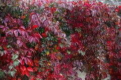 Autumn backgroung. With grape leaves Royalty Free Stock Photography