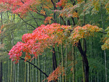 Autumn bamboo forest Stock Photography