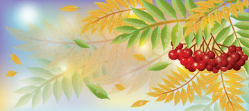 Autumn banner with mountain ash berry Stock Photos