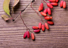 Autumn barberries royalty free stock photography