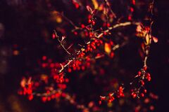 Autumn barberry Stock Photography