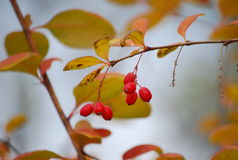 Autumn. Barberry bush. Stock Photo