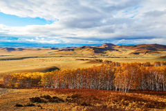 Autumn Bashang grassland birch forest Stock Photo
