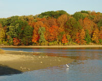 Autumn beach on lake. A sandy beach on a lake with colorful autumn foliage in the woods in the background Stock Image