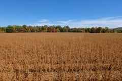 Autumn Bean Field Image libre de droits