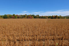 Autumn Bean Field Royalty Free Stock Image