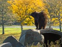 Autumn Bear Royalty Free Stock Image