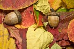 Autumn Beautiful Colored Leaves und Eicheln stockbild