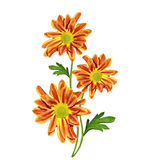 Autumn beautiful colorful chrysanthemum flowers isolated on whit Stock Image