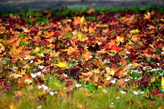 Autumn. Beautiful colorful autumn grass still green but already fallen colorful leaves, here and there pierce even the last flowers Stock Image