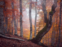 Autumn beautiful forest. And fog Stock Photos