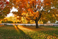 Autumn. Beautiful Autumn landscape of sunset colored trees and warm colored leaves that covers the ground royalty free stock images