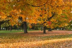 Autumn. Beautiful Autumn landscape of sunset colored trees and warm colored leaves that covers the ground Stock Images
