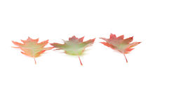 Autumn beautiful leaves on a white. Royalty Free Stock Image