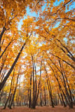 Autumn beautiful  oak thicket Royalty Free Stock Photos