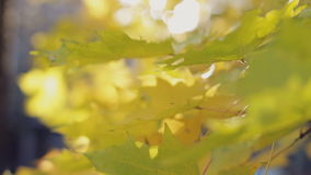 Autumn beauty, colourful leaves close-up stock video footage