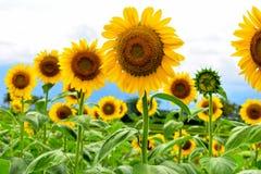 Autumn Beauty Sunflower stock photo