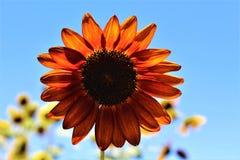 Autumn Beauty Sunflower in bloei in de woestijn, Arizona, Verenigde Staten stock afbeelding