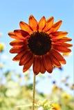 Autumn Beauty Sunflower in bloei in de woestijn, Arizona, Verenigde Staten stock afbeeldingen