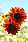 Autumn Beauty Sunflower in bloei in de woestijn, Arizona, Verenigde Staten royalty-vrije stock foto's