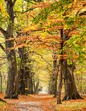 Autumn Beech Fotografia Stock