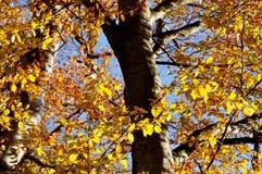 Autumn Beech imagens de stock royalty free