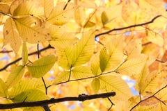 Autumn Beech foto de stock