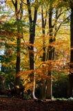 Autumn Beech fotografia de stock