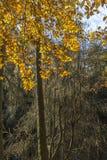 Autumn Beech bei Glen Esk Gorge in Schottland Lizenzfreie Stockfotografie