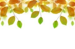 Autumn beech branch Stock Image