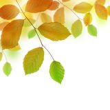 Autumn beech branch with colorful leaves Stock Image