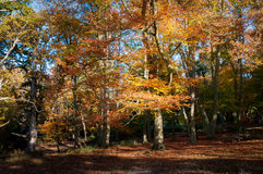 Autumn beech Royalty Free Stock Images