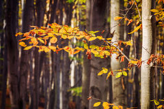 Autumn beech fall forest Stock Image