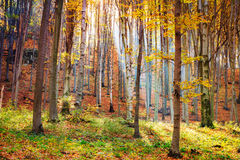 Autumn beech fall forest Royalty Free Stock Photography