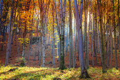 Autumn beech fall forest Stock Photos